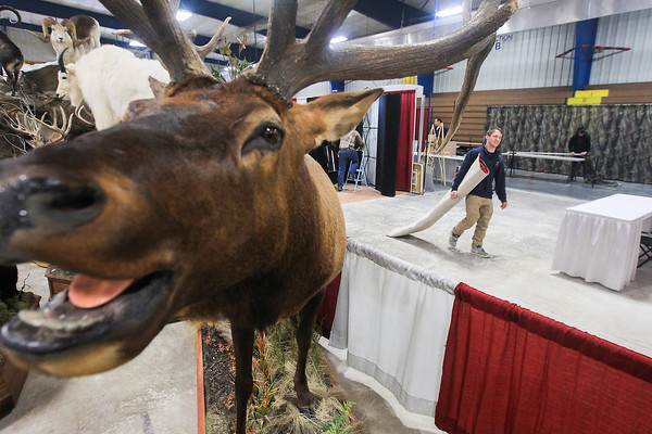 Record-Eagle/Keith King<br /> Tyler Fournier, with Exhibition Services, Inc., carries a rug near an Elk display from Parkey's Taxidermy, of Indian River, as preparations are made at the Grand Traverse County Civic Center for the Traverse City Hunting and Fishing Expo which is scheduled for Friday, Saturday and Sunday.
