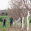 CHERRY TREE PRUNING