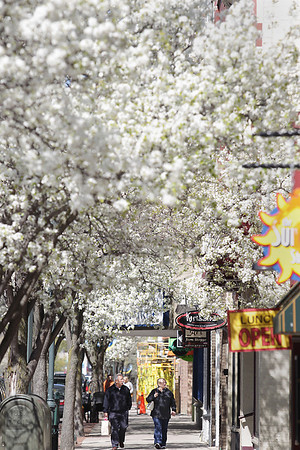 Record-Eagle/Keith King<br /> Paul Stokes, left, and his wife Ann, of Davenport, Iowa, walk Tuesday, May 17, 2011 underneath blossoming Redspire Pear trees in downtown Traverse City. The two, who are originally from Michigan, were vacationing in Traverse City.