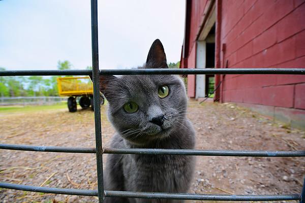 Record-Eagle/Dan Nielsen Gracie the cat roams the barn and fields at Crystal Lake Alpaca Farm near Benzonia.
