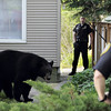 Record-Eagle/Keith King<br /> A black bear stands between two houses on Second Street on Sunday.