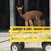 Record-Eagle/Dan Nielsen<br /> An alpaca cools off in the barn at Crystal Lake Alpaca Farm & Boutique.