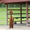 Record-Eagle/Dan Nielsen<br /> An alpaca at the Crystal Lake Alpaca Farm & Boutique near Benzonia.