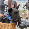 Record-Eagle/Keith King<br /> Sir Harry, a Scottish terrier belonging to Bonnie Mathias, of Traverse City, sits in a bicycle basket before the start of the Tweed Ride TC event as participants gather at the Open Space in Traverse City.