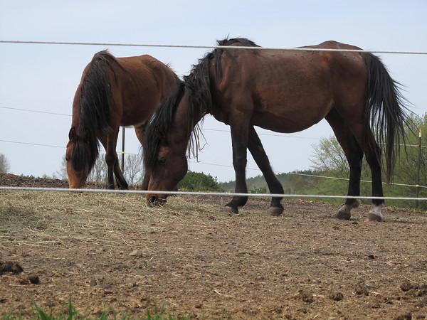 Record-Eagle/Matt Troutman<br /> Horses at the Antrim County farm where 18 animals were seized.