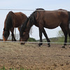 Record-Eagle/Matt Troutman<br /> Horses at the Antrim County farm where 18 animals were seized.