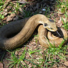 Record-Eagle/Dan Nielsen<br /> An eastern hognose snake curls up in East Bay Township.