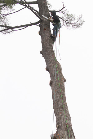 Record-Eagle/Keith King<br /> Dan Taylor, foreman with A-1 Professional Tree Service, saws white pine tree branches prior to cutting the tree down Thursday, November 21, 2013 on Sixth Street in Traverse City. The tree, estimated at 120 feet tall, was to be taken down due its weakening and concern that it could fall.