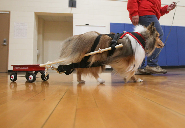 Record-Eagle/Keith King<br /> Jane McManus, of South Boardman, owner of Pine Meadows Dog Training Center, demonstrates carting with her Sheltie, Phantom, Saturday, November 2, 2013 during Community Pet Education Day at Mill Creek Elementary School in Williamsburg. The event was a fundraiser for No Unwanted Pets, a coalition between H.A.N.D.D.S to the Rescue and AC PAW with proceeds going for low-cost spaying and neutering. Agility training discussion and presentation as well as topics of pet health and wellness were some of the areas, as well as others, that were covered during the event. Phantom is one of three Shelties in the United States and Canada to have a carting title.