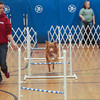 Record-Eagle/Keith King<br /> Quincie Wend, of Kalkaska, along with her Nova Scotia Duck Tolling Retriever, Cavu, demonstrates Cavu's agility Saturday, November 2, 2013 during Community Pet Education Day at Mill Creek Elementary School in Williamsburg. The event was a fundraiser for No Unwanted Pets, a coalition between H.A.N.D.D.S to the Rescue and AC PAW with proceeds going for low-cost spaying and neutering. Agility training discussion and presentation as well as topics of pet health and wellness were some of the areas, as well as others, that were covered during the event.