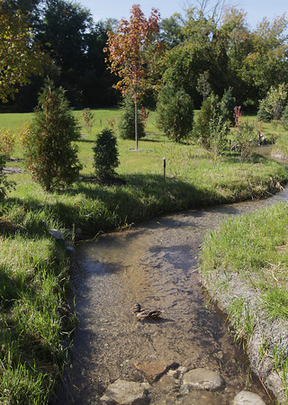Record-Eagle/Keith King<br /> A duck travels in Kids Creek Monday, September 30, 2013 which was diverted as part of the Kids Creek restoration project at Munson Medical Center.