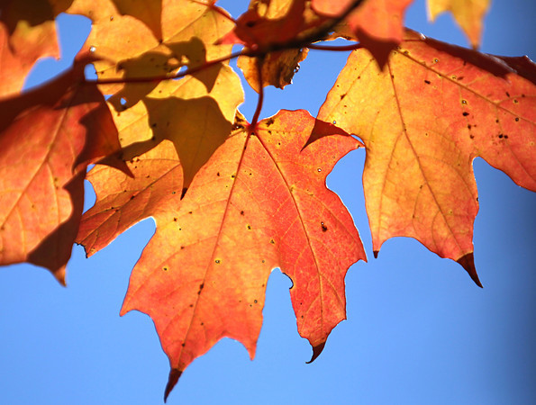 Record-Eagle/Nathan Payne<br /> Vibrant maple leaves hang on a tree along Supply Road early Thursday morning. Some say tree diseases plaguing trees across Michigan already have affected the colors we see during the color change in the fall.