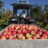 Record-Eagle/Keith King<br /> Jim Bardenhagen, owner, moves a bin of Honeycrisp apples Wednesday, October 2, 2013 after they were harvested at Bardenhagen Farms in Leelanau County.