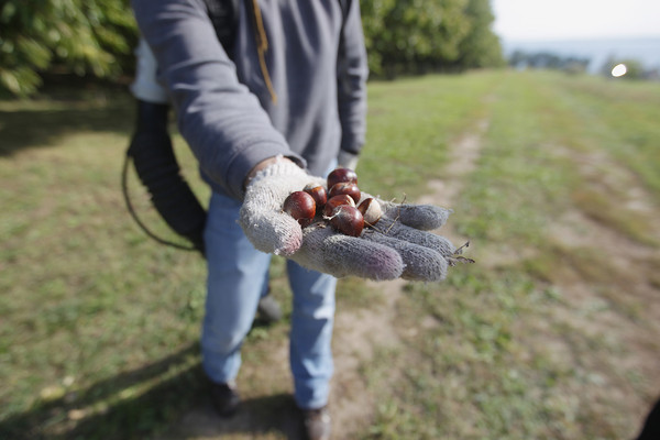 Record-Eagle/Keith King<br /> Chestnuts are held by Attila Filo, plant pathologist, after being gathered Tuesday, October 1, 2013 at Croft Chestnuts on Old Mission Peninsula.