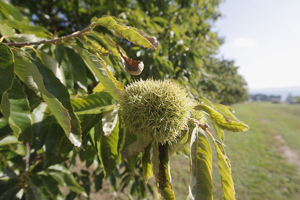 Record-Eagle/Keith King<br /> Chestnuts grow inside burrs Tuesday, October 1, 2013 at Croft Chestnuts on Old Mission Peninsula.