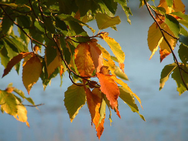 Record-Eagle/Marta Hepler Drahos<br /> Beech leaves begin to turn color along Davis Lake in Leelanau County.