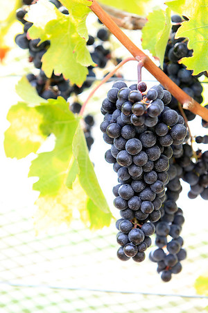 Record-Eagle/Jan-Michael Stump<br /> Grapes wait to be picked at Bowers Harbor Vineyards Monday.