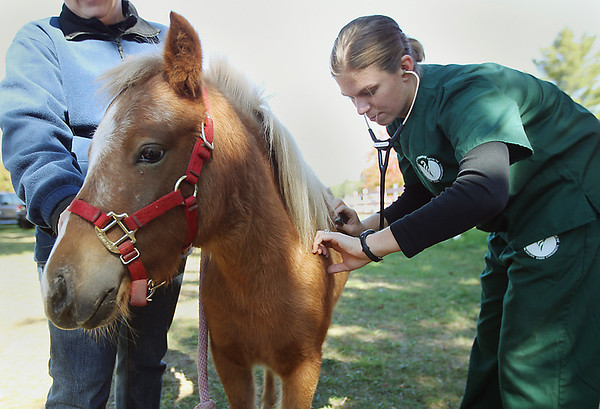 Record-Eagle/Keith King<br /> Julie Wesselink, Michigan State University College of Veterinary Medicine second-year veterinary student, checks the respiration rate of a miniature horse Saturday, September 29, 2012 during a free horse health care clinic at the Northwestern Michigan Fairgrounds in Blair Township.