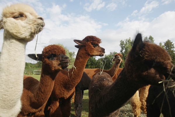 Record-Eagle/Keith King<br /> Alpacas eat hay Wednesday, September 4, 2013 at the Crystal Lake Alpaca Farm in Crystal Lake Township.