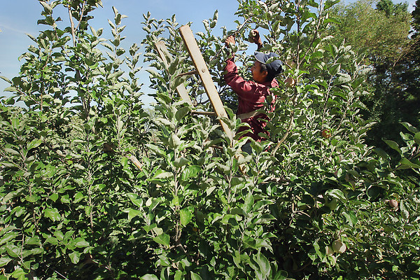 Record-Eagle/Keith King<br /> Simon Nocnebuena picks apples Monday, September 10, 2012 at Lakeview Orchards in Leelanau County.