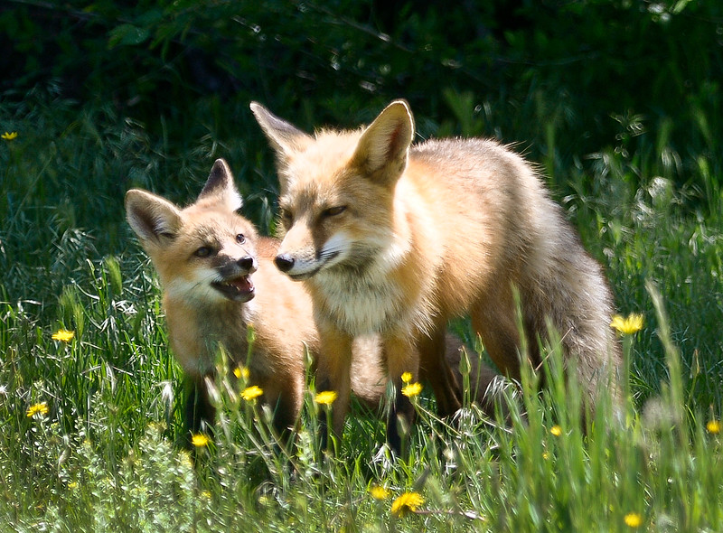 FOX CUBS PLAYING IN LONGMONT FIELD