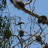 Another look at the double crested cormorants nesting.