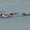 When sea otters get together like this, they call it a raft.