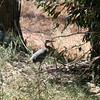 A great blue heron walking around the bird sanctuary right next to our hotel.