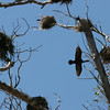A look at the double crested cormorants nesting in the trees next to our hotel.