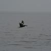 A pelican in flight.