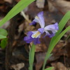 Dwarf Crested Iris, a little beaten up by rain the day before.