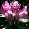 The rhododendron were in full bloom!