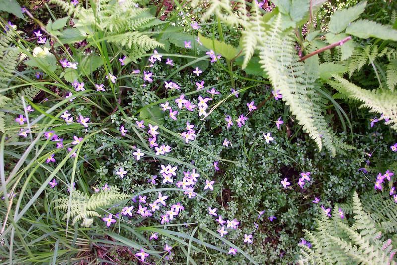Bluets aka Quaker-Ladies - Houstonia caerulea