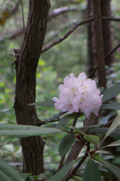 The rhododendron were blooming