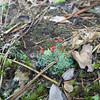 Our friend Paul identified this odd plant as a lichen in the Cladonia genus...perhaps Cladonia cristatella...