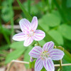 Spring Beauty - Claytonia virginica