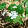 Rue Anemone - Anemonella thalictroides