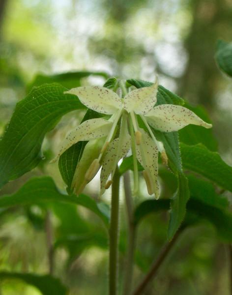 Spotted Mandarin aka Fairy Bells - disporum maculatum (suitable for 8x10 printing)