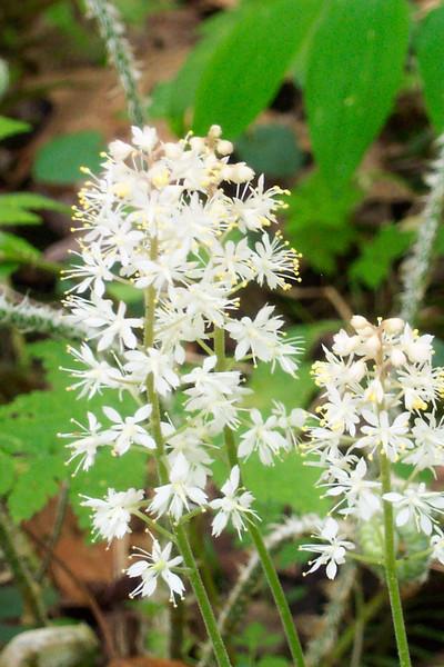 Foamflower - Tiarella cordifolia