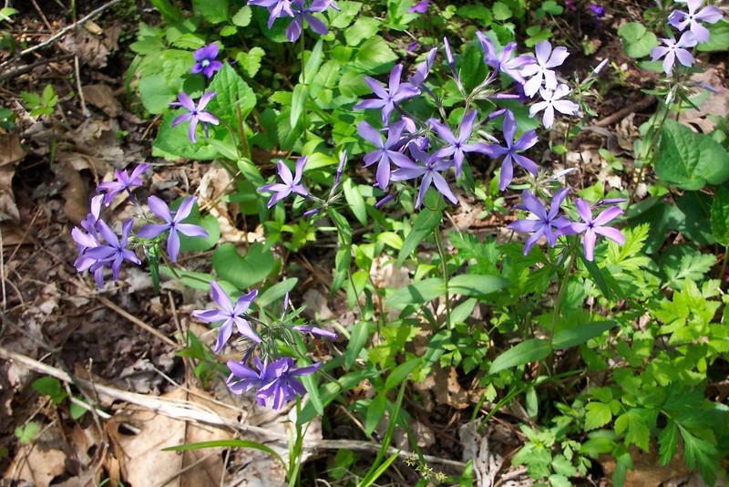Blue Phlox - Phlox divaricata