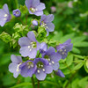 Jacob's Ladder aka Greek Valerian - Polemonium reptans