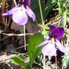 Birdfoot Violet - Viola pedata
