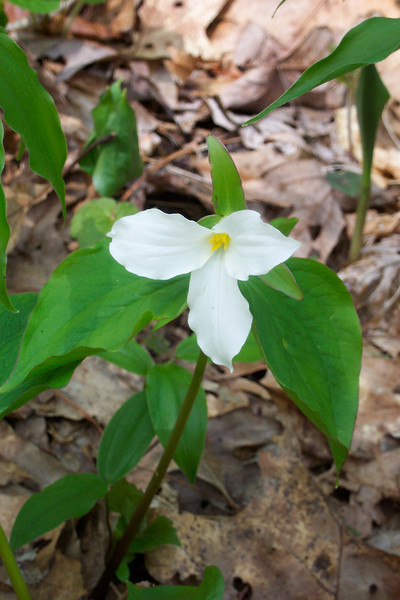 Large-flowered Trillim - Trillium grandiflorum