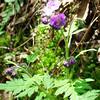 Purple Phacelia - Phacelia bipinnatifida