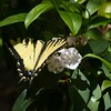 Eastern Tiger Swallowtail (Papilio glaucus) on Mountain Laurel