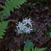 White Clintonia (Clintonia umbellulata)