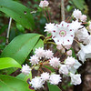 Mountain Laurel. WARNING: the next page contains a photo of a snake; we don't want to trigger any panic attacks.