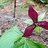 Erect Trillium (Trillium Erectum)