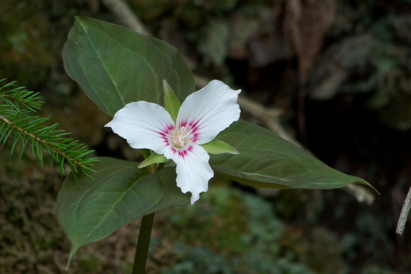 Painted Trillium (Trillium undulatum)