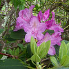 We discovered a single rhododendron blooming on the health bald during our return trip down the mountain